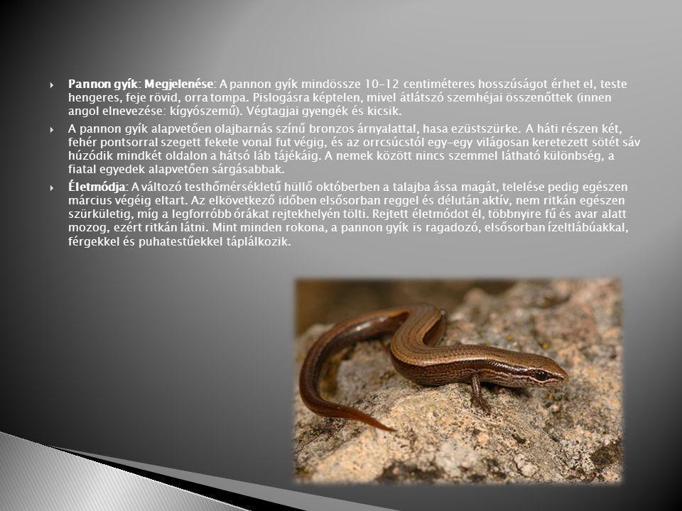 Pannon gyík: Megjelenése: A pannon gyík mindössze 10-12 centiméteres hosszúságot érhet el, teste hengeres, feje rövid, orra tompa. Pislogásra képtelen, mivel átlátszó szemhéjai összenőttek (innen angol elnevezése: kígyószemű). Végtagjai gyengék és kicsik.