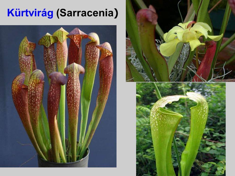 Kürtvirág (Sarracenia)