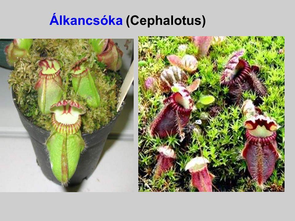 Álkancsóka (Cephalotus)