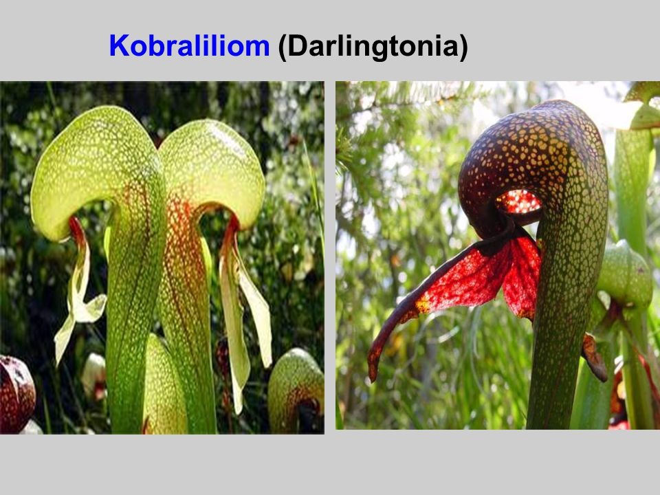 Kobraliliom (Darlingtonia)