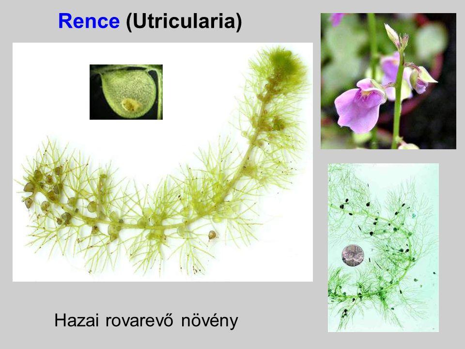 Rence (Utricularia) Hazai rovarevő növény