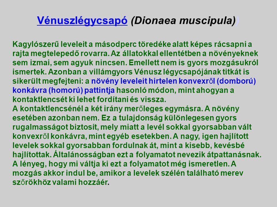 Vénuszlégycsapó (Dionaea muscipula))