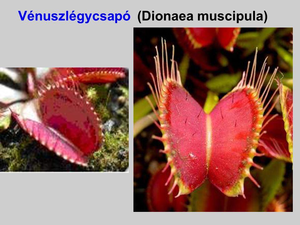 Vénuszlégycsapó (Dionaea muscipula)