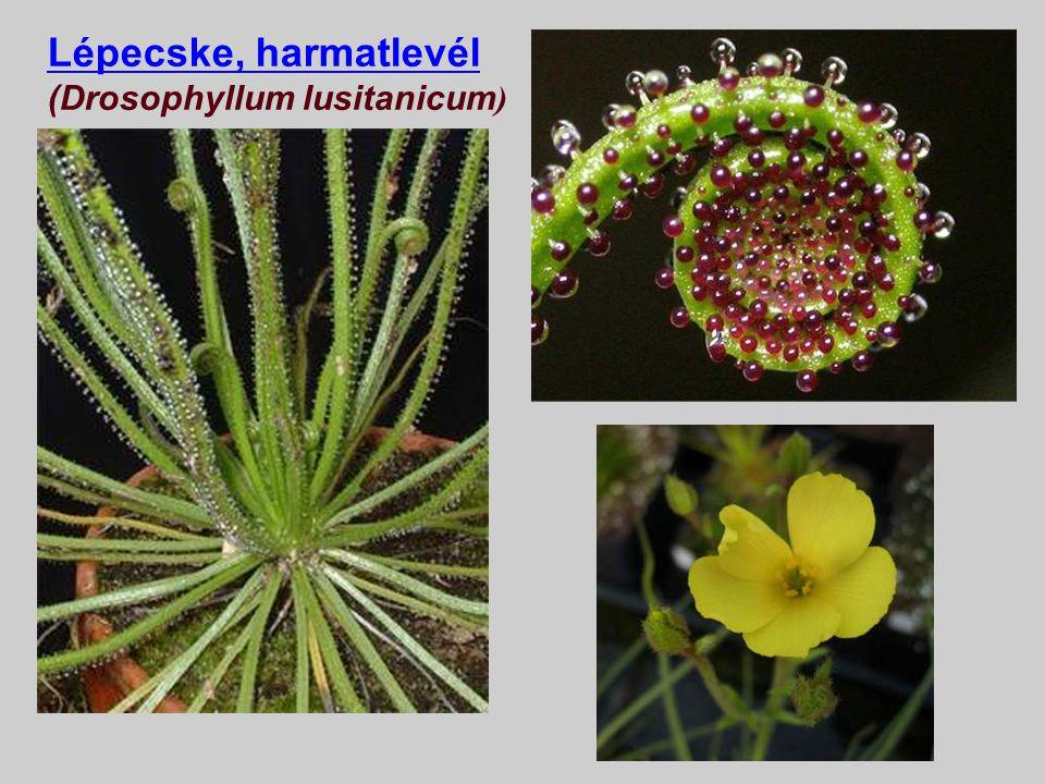 Lépecske, harmatlevél (Drosophyllum lusitanicum)