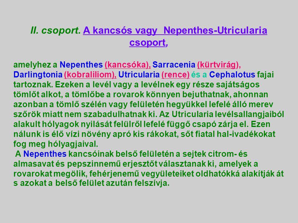 II. csoport. A kancsós vagy Nepenthes-Utricularia csoport,