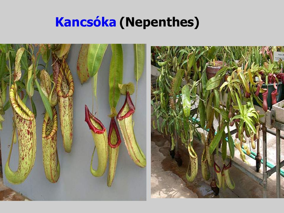 Kancsóka (Nepenthes)‏