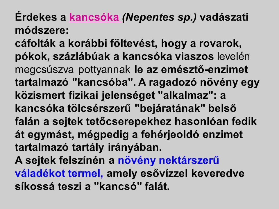 Érdekes a kancsóka (Nepentes sp