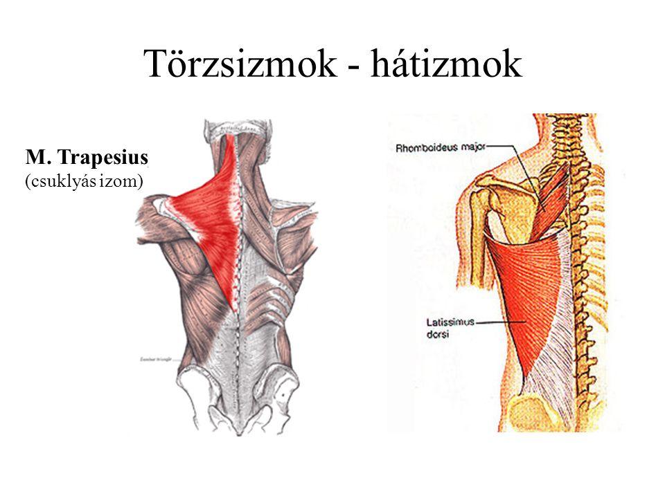 Törzsizmok - hátizmok M. Trapesius (csuklyás izom)