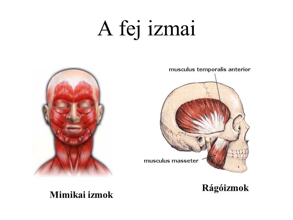 A fej izmai Rágóizmok Mimikai izmok