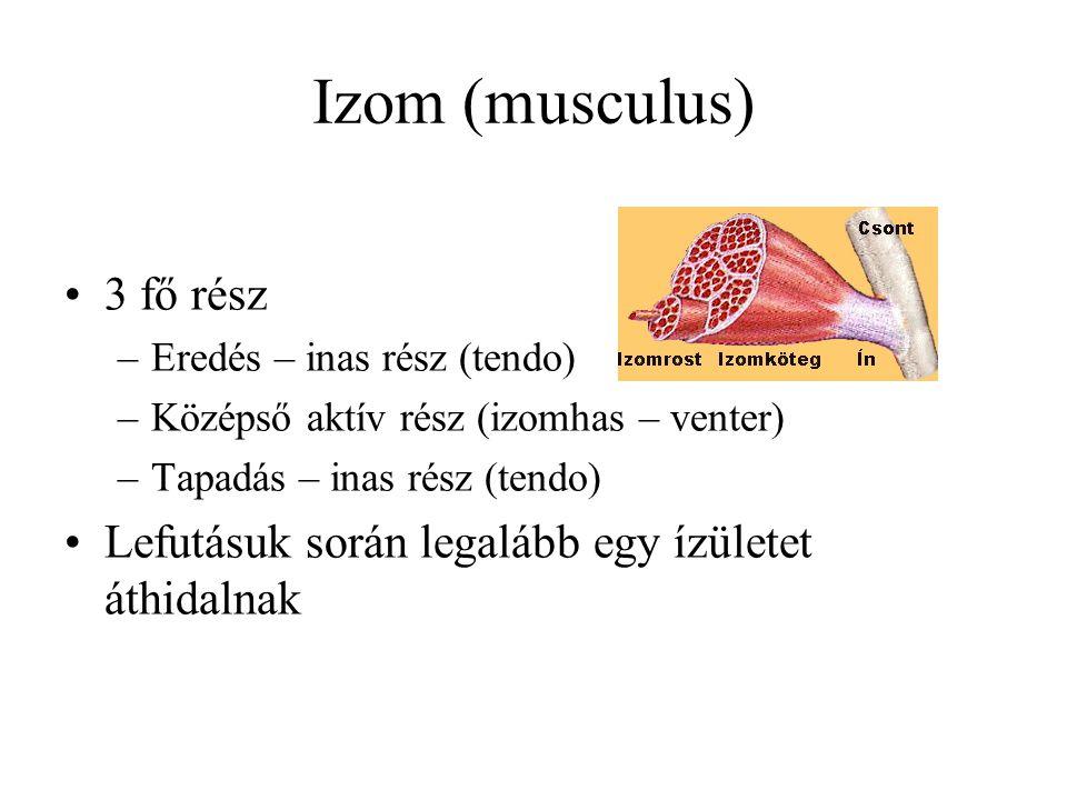 Izom (musculus) 3 fő rész