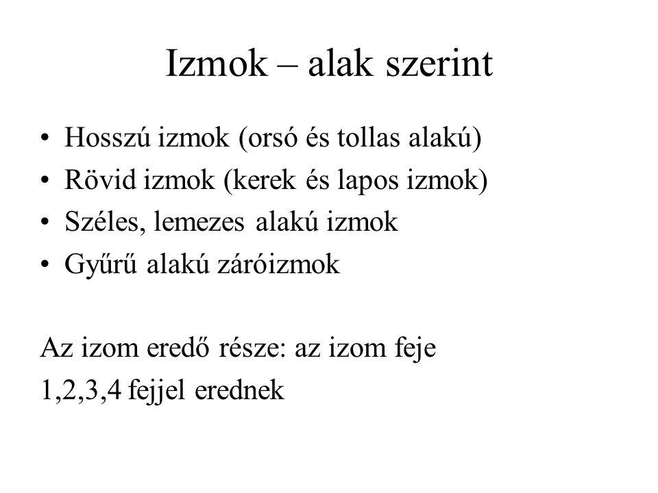 Izmok – alak szerint Hosszú izmok (orsó és tollas alakú)