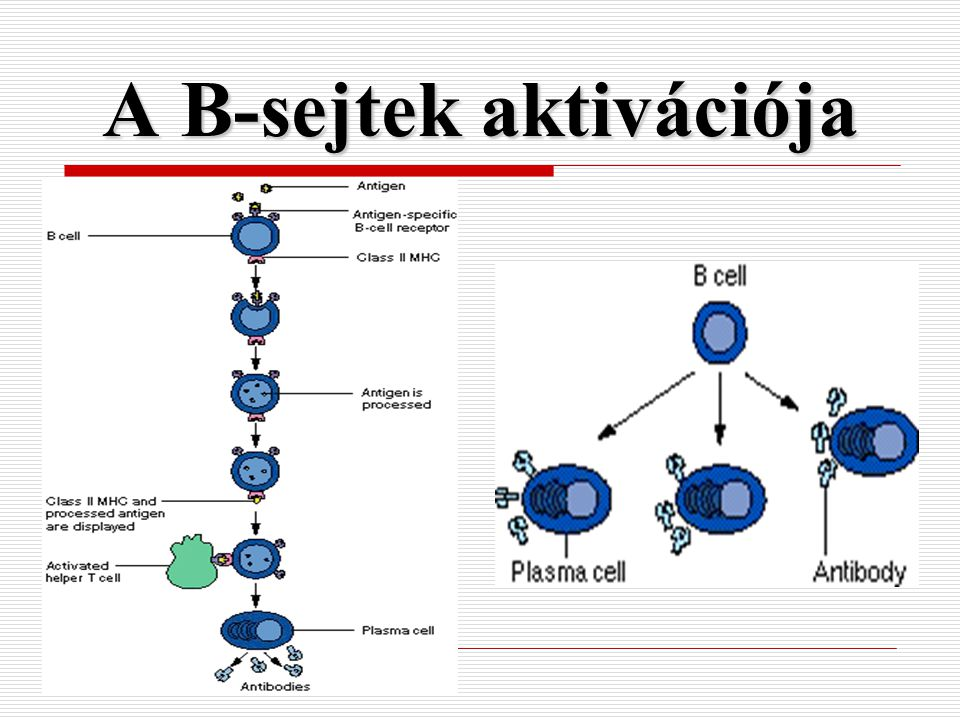A B-sejtek aktivációja