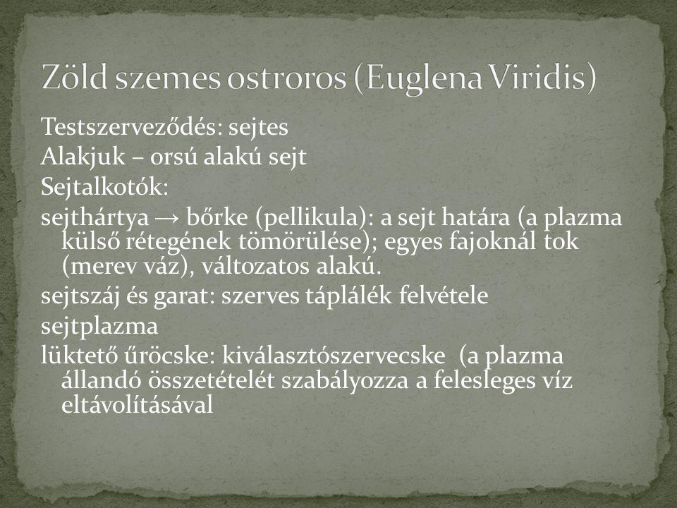 Zöld szemes ostroros (Euglena Viridis)