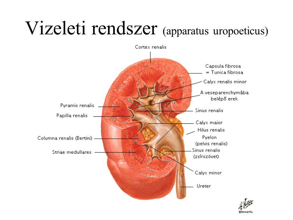 Vizeleti rendszer (apparatus uropoeticus)