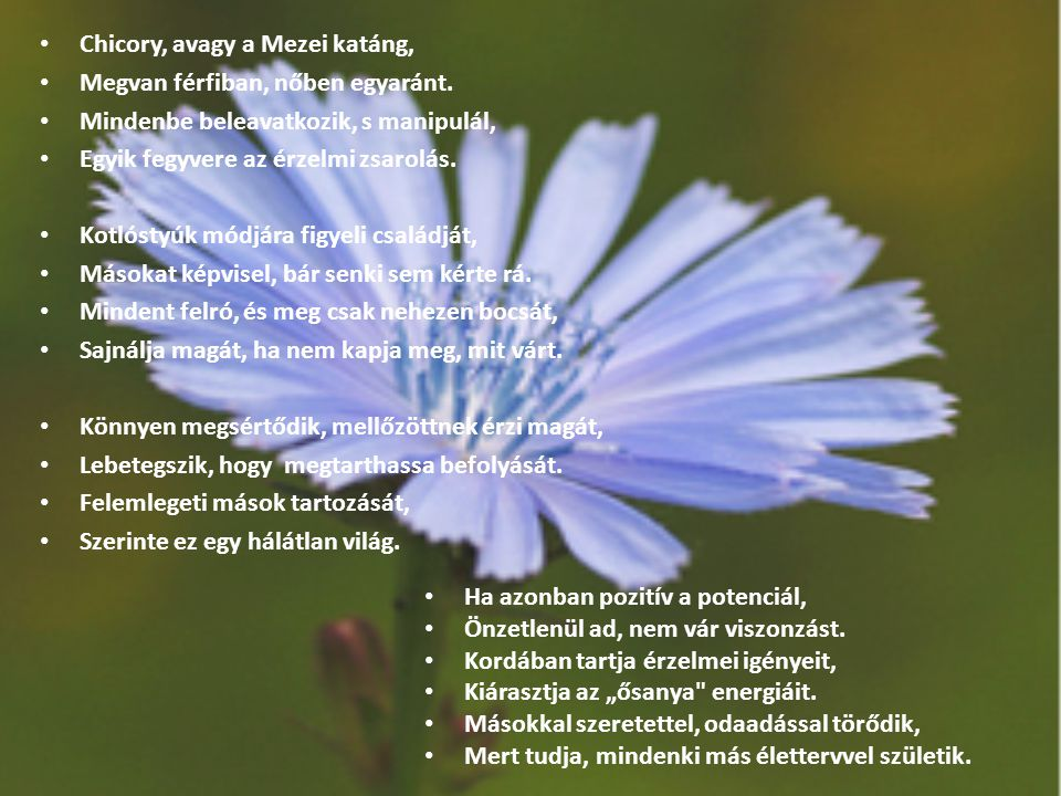 Chicory, avagy a Mezei katáng,
