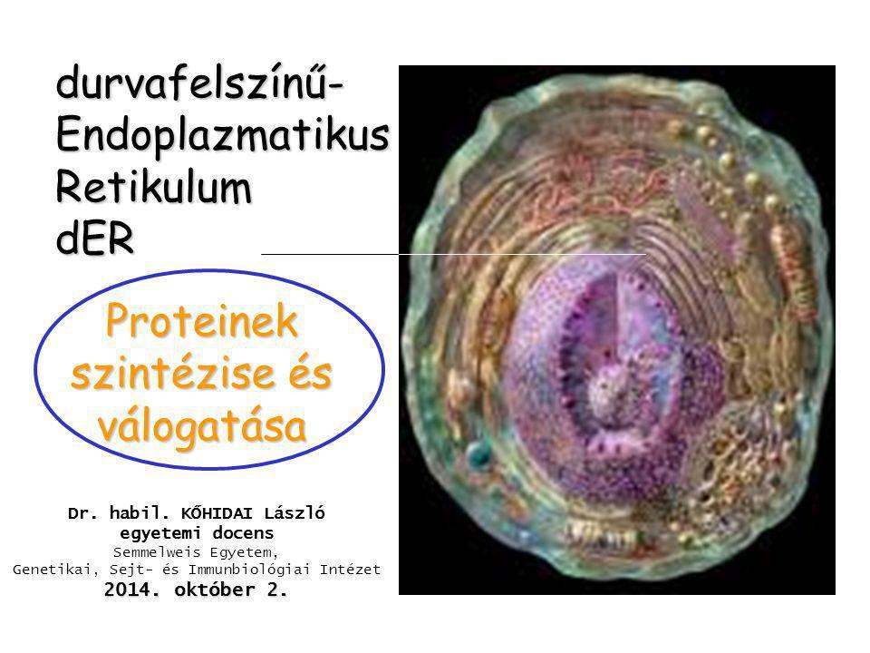 durvafelszínű-Endoplazmatikus Retikulum dER