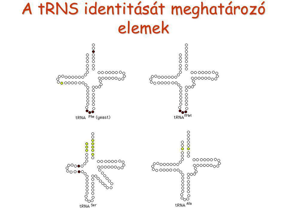 A tRNS identitását meghatározó elemek