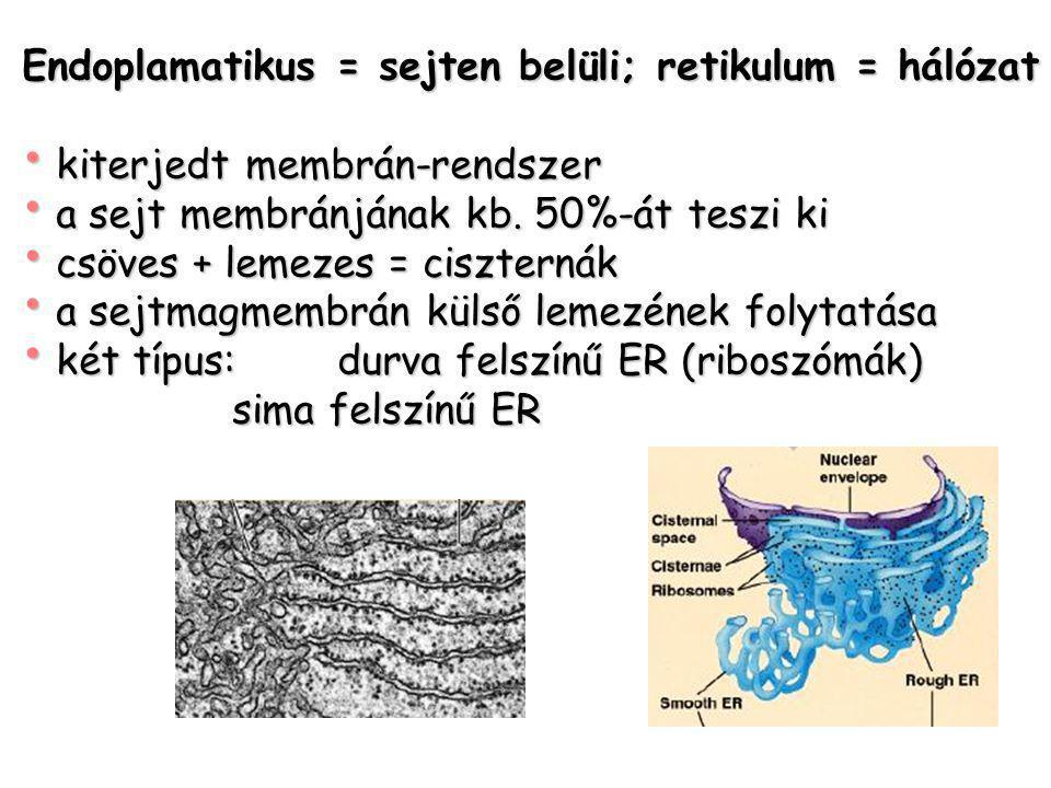 Endoplamatikus = sejten belüli; retikulum = hálózat