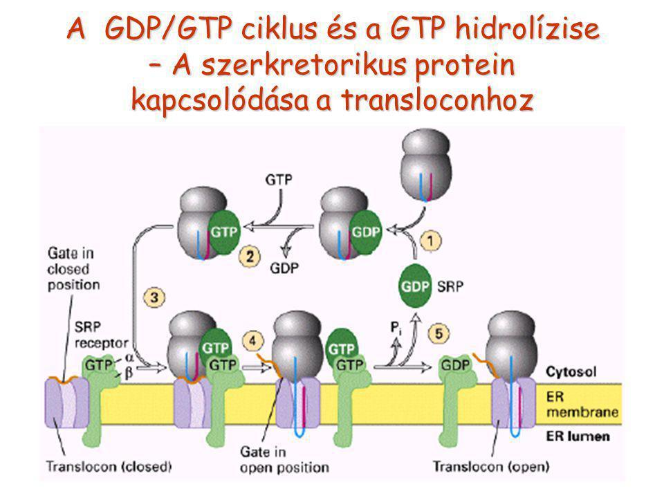 A GDP/GTP ciklus és a GTP hidrolízise – A szerkretorikus protein kapcsolódása a transloconhoz