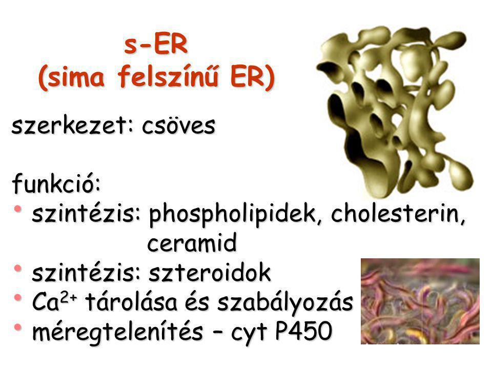 s-ER (sima felszínű ER)