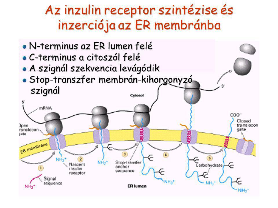 Az inzulin receptor szintézise és inzerciója az ER membránba