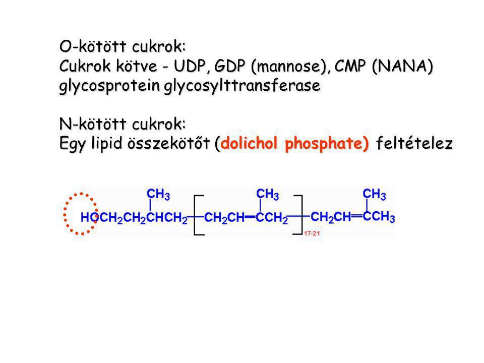 O-kötött cukrok: Cukrok kötve - UDP, GDP (mannose), CMP (NANA) glycosprotein glycosylttransferase.