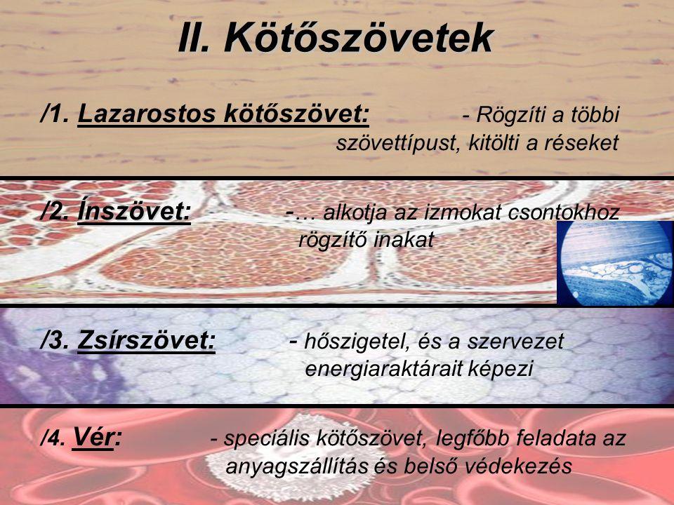 II. Kötőszövetek /1. Lazarostos kötőszövet: - Rögzíti a többi szövettípust, kitölti a réseket.