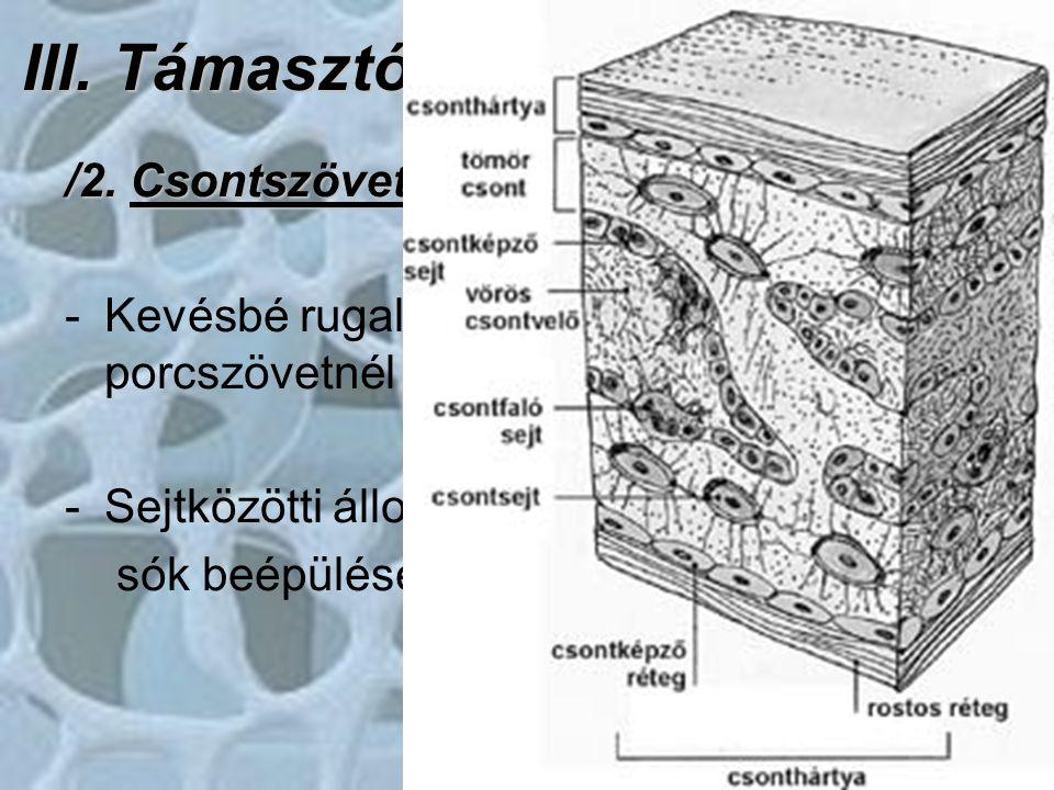 III. Támasztószövetek /2. Csontszövet: