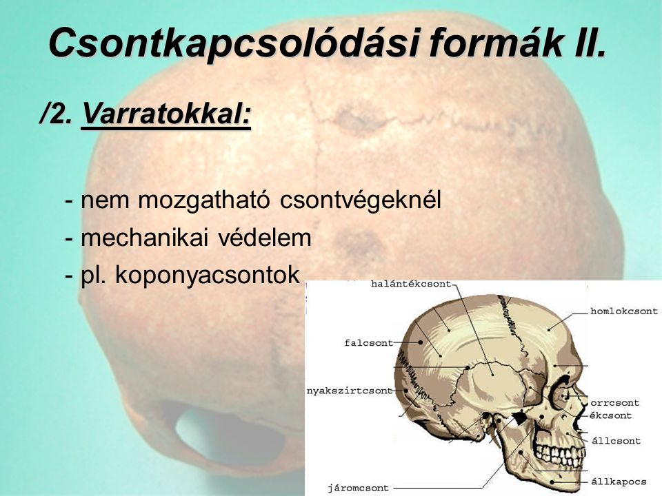 Csontkapcsolódási formák II.