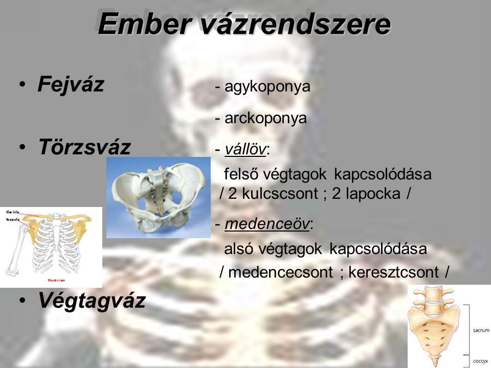 Ember vázrendszere Fejváz - agykoponya - arckoponya Törzsváz - vállöv: