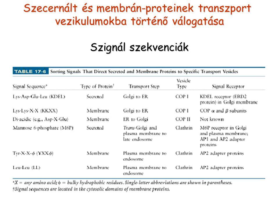 Szecernált és membrán-proteinek transzport