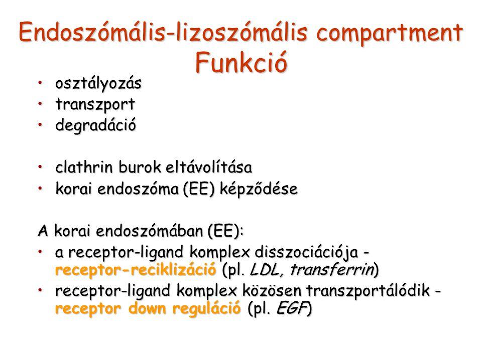 Endoszómális-lizoszómális compartment Funkció