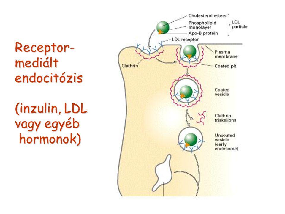 Receptor- mediált endocitózis (inzulin, LDL vagy egyéb hormonok)