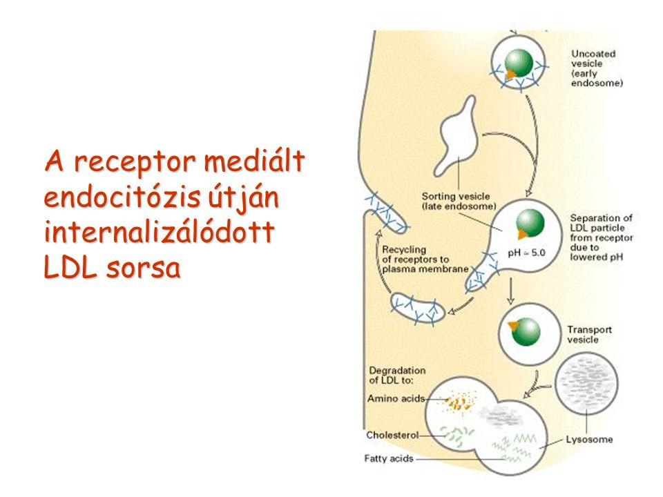 A receptor mediált endocitózis útján internalizálódott LDL sorsa