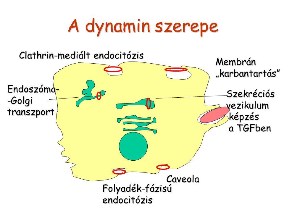 """A dynamin szerepe Clathrin-mediált endocitózis Membrán """"karbantartás"""