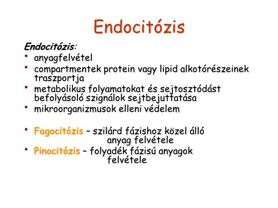 Endocitózis Endocitózis: anyagfelvétel