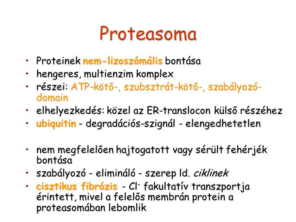 Proteasoma Proteinek nem-lizoszómális bontása