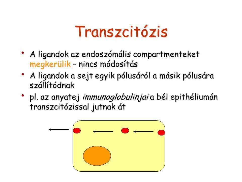 Transzcitózis A ligandok az endoszómális compartmenteket megkerülik – nincs módosítás.