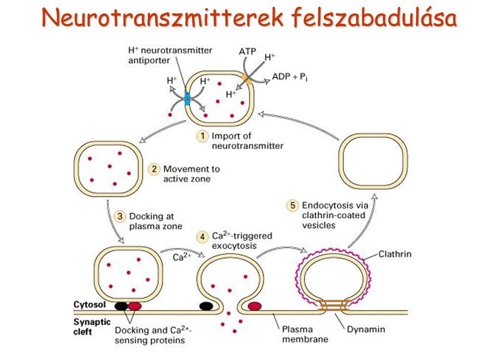 Neurotranszmitterek felszabadulása