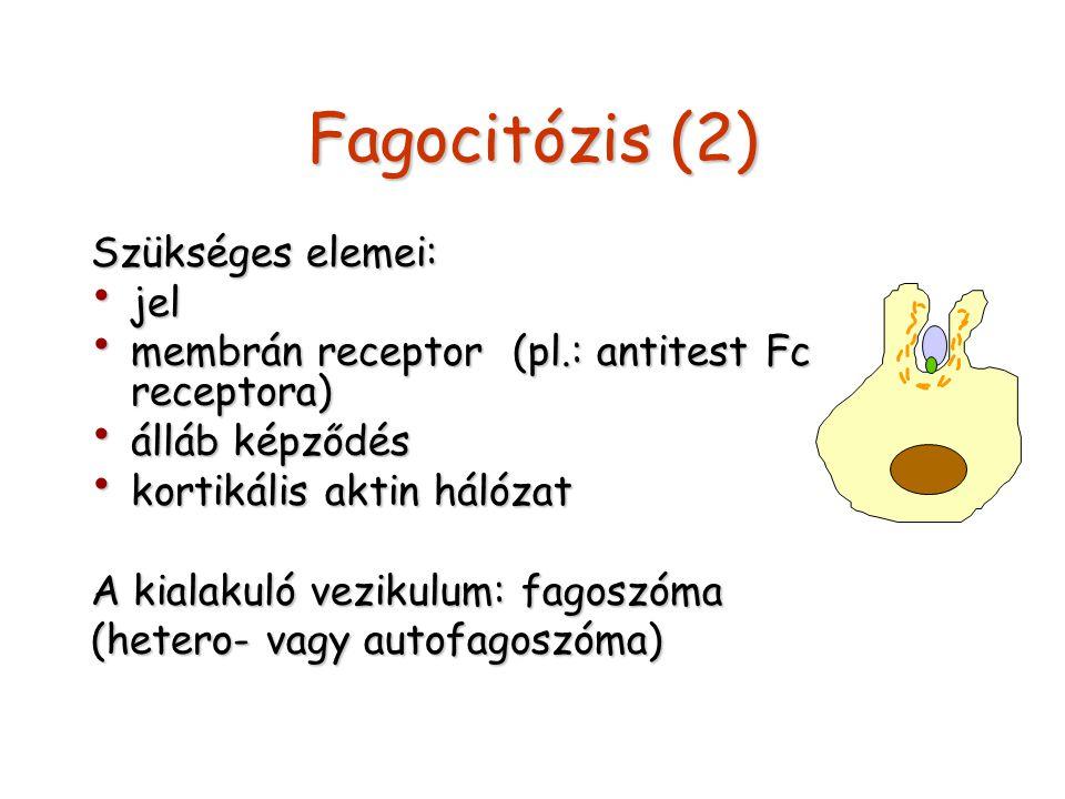 Fagocitózis (2) Szükséges elemei: jel