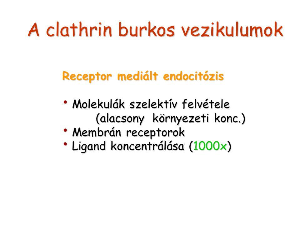 A clathrin burkos vezikulumok