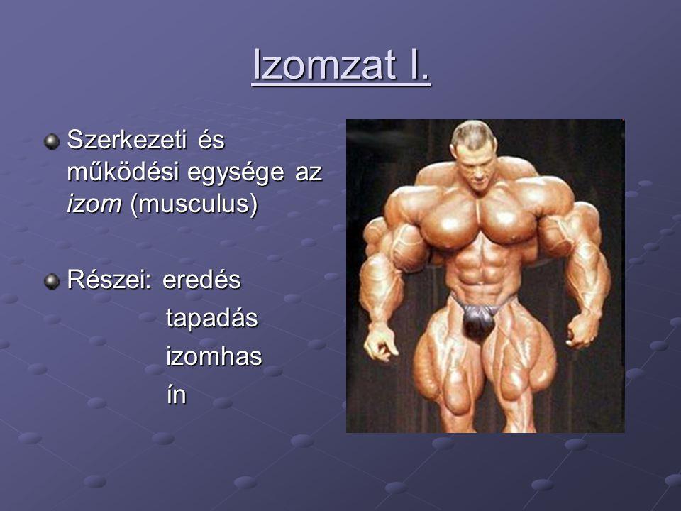 Izomzat I. Szerkezeti és működési egysége az izom (musculus)