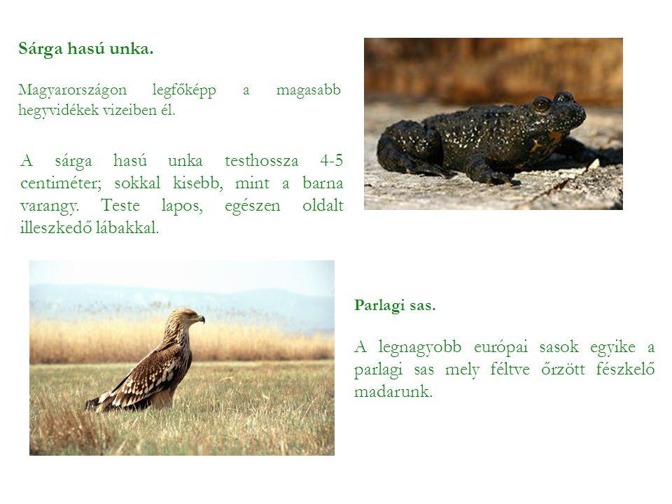 Sárga hasú unka. Magyarországon legfőképp a magasabb hegyvidékek vizeiben él.