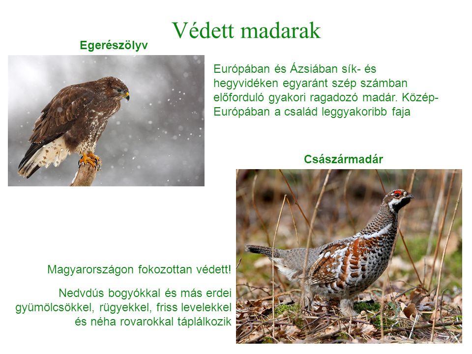 Védett madarak Egerészölyv