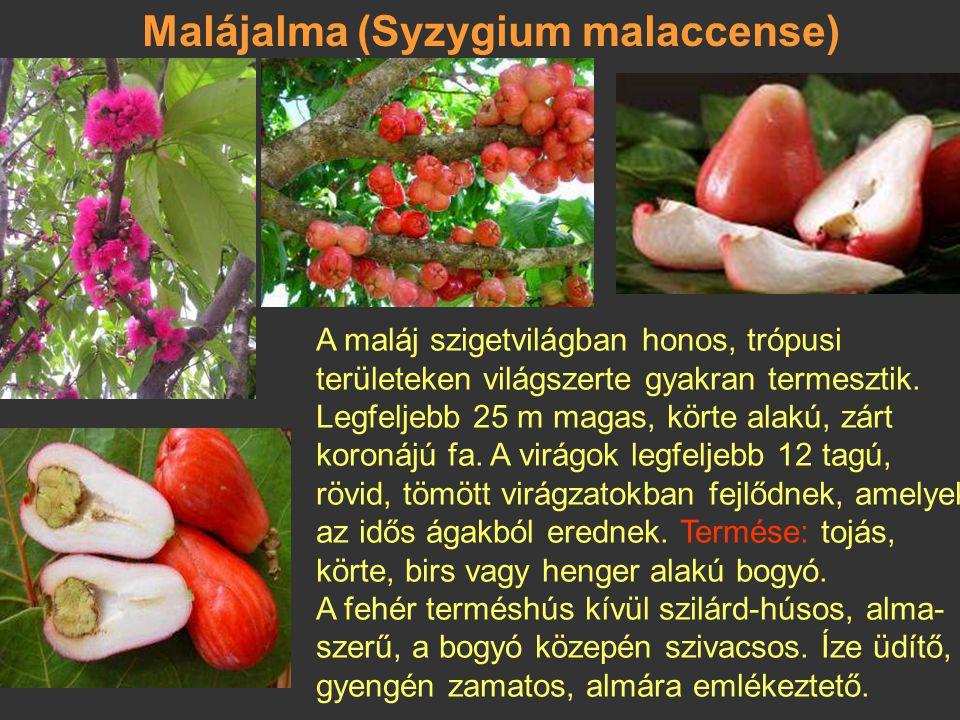 Malájalma (Syzygium malaccense)