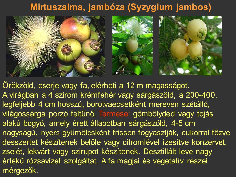 Mirtuszalma, jambóza (Syzygium jambos)