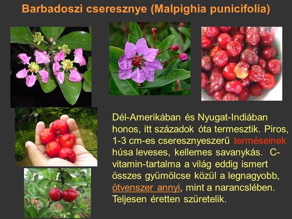 Barbadoszi cseresznye (Malpighia punicifolia)