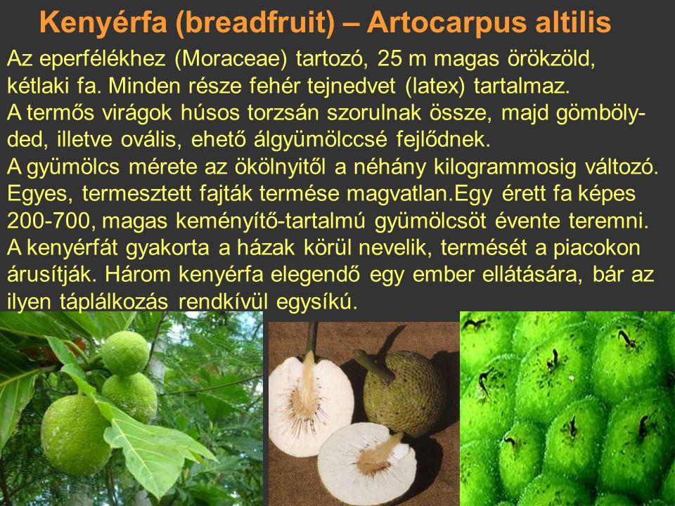 Kenyérfa (breadfruit) – Artocarpus altilis