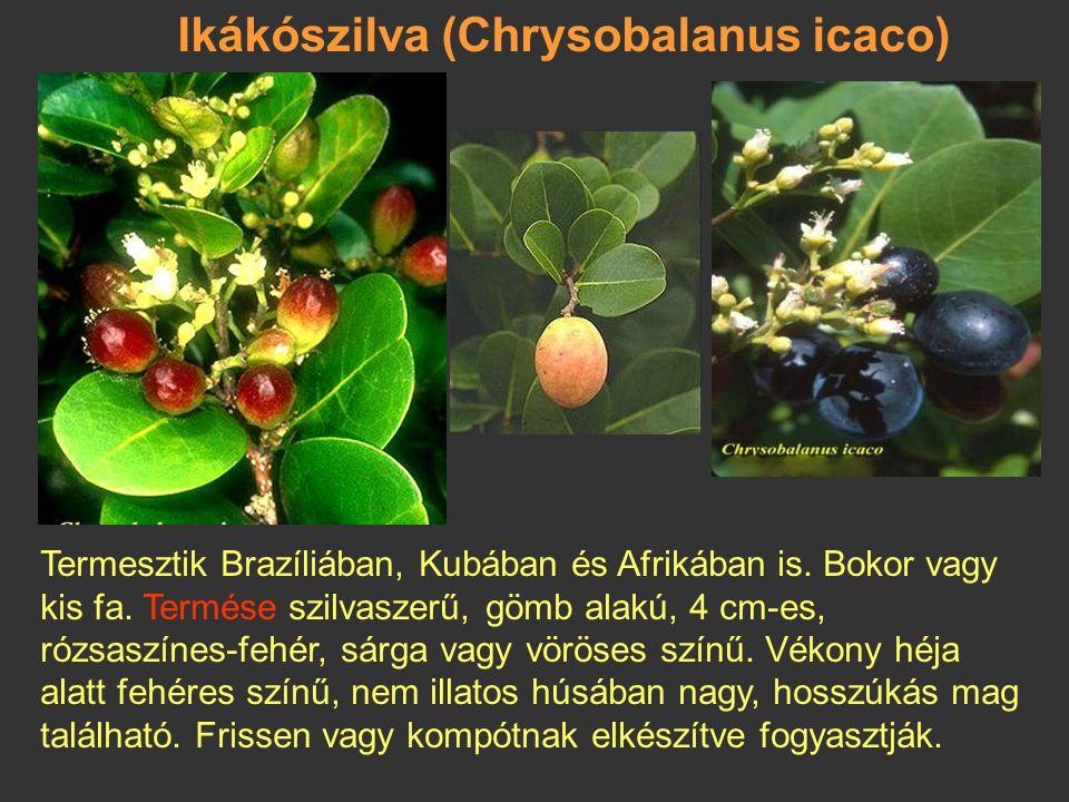 Ikákószilva (Chrysobalanus icaco)