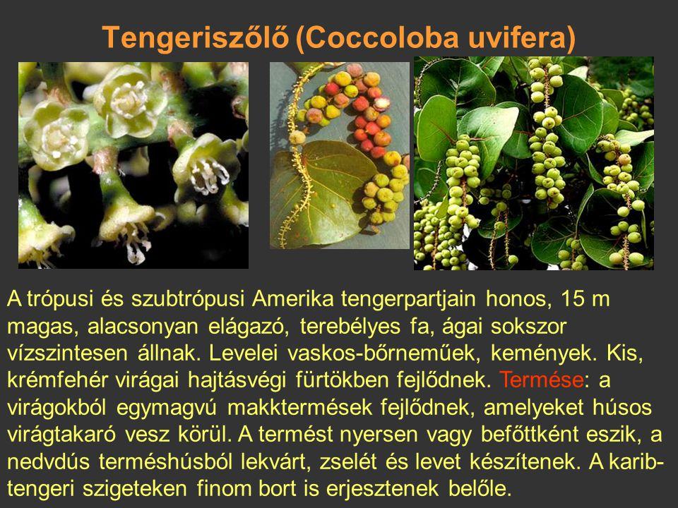 Tengeriszőlő (Coccoloba uvifera)